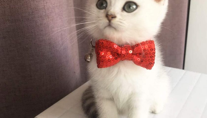 50% Discount for azuza Breakaway Cat Collar with Bell
